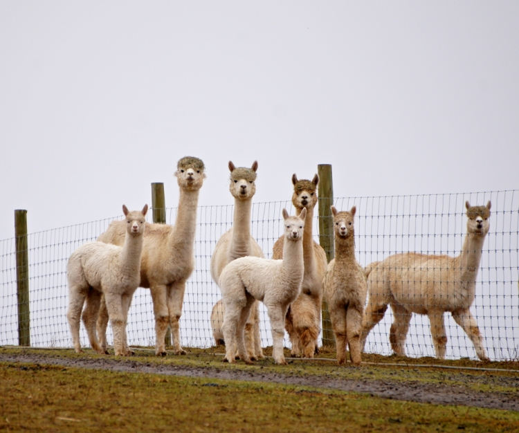 Alpacas, Artfully Arranged