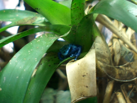 Dyeing Poison Dart Frog, hiding in a plant